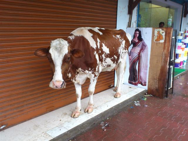 A Cow Taking Shade From Rains