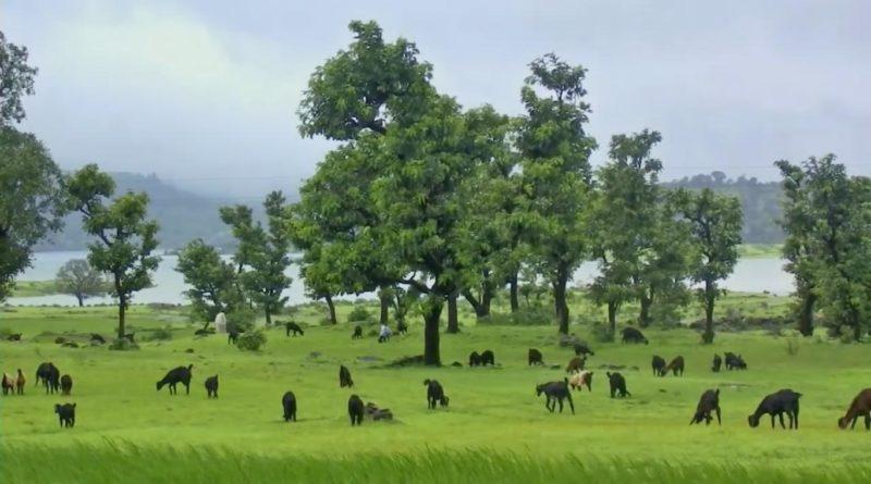 Bhandardara Cattle Grazing