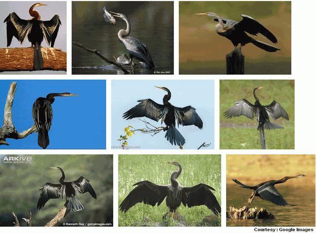 Snake Bird, Bird Of The Year 2015