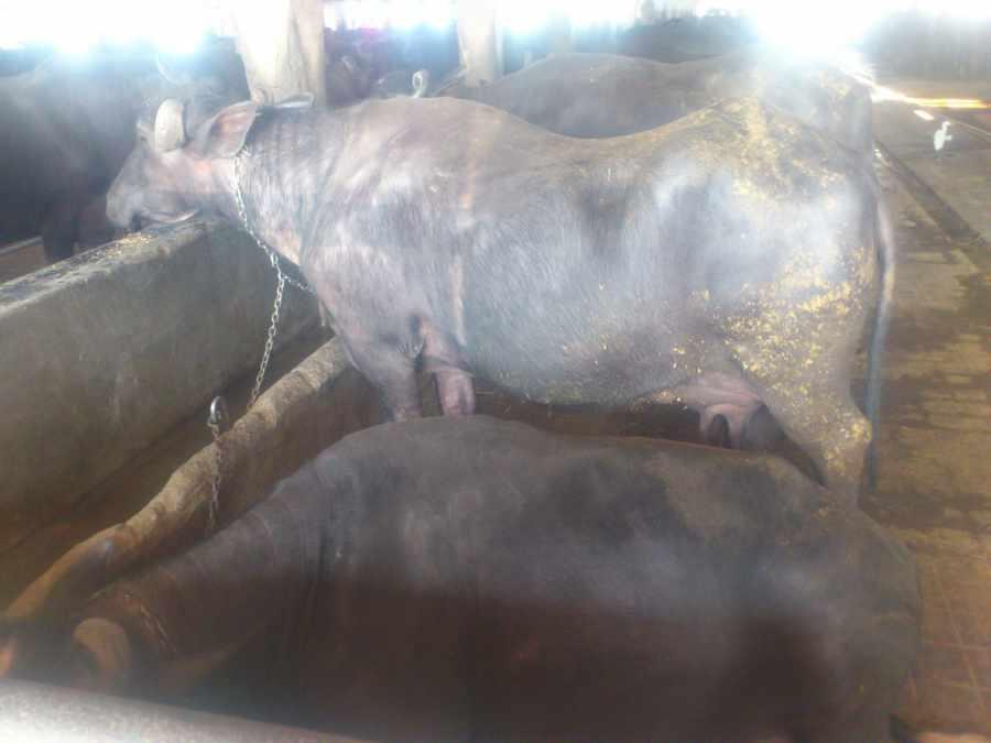 Buffalo inside Shed