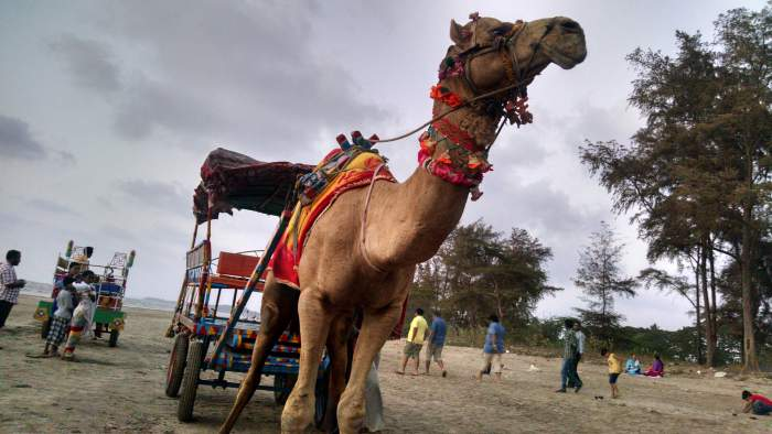 Dahanu Beach Camel Ride