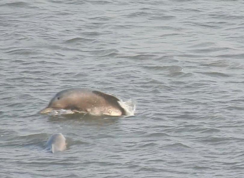 Dolphins Spotted at Marine Drive