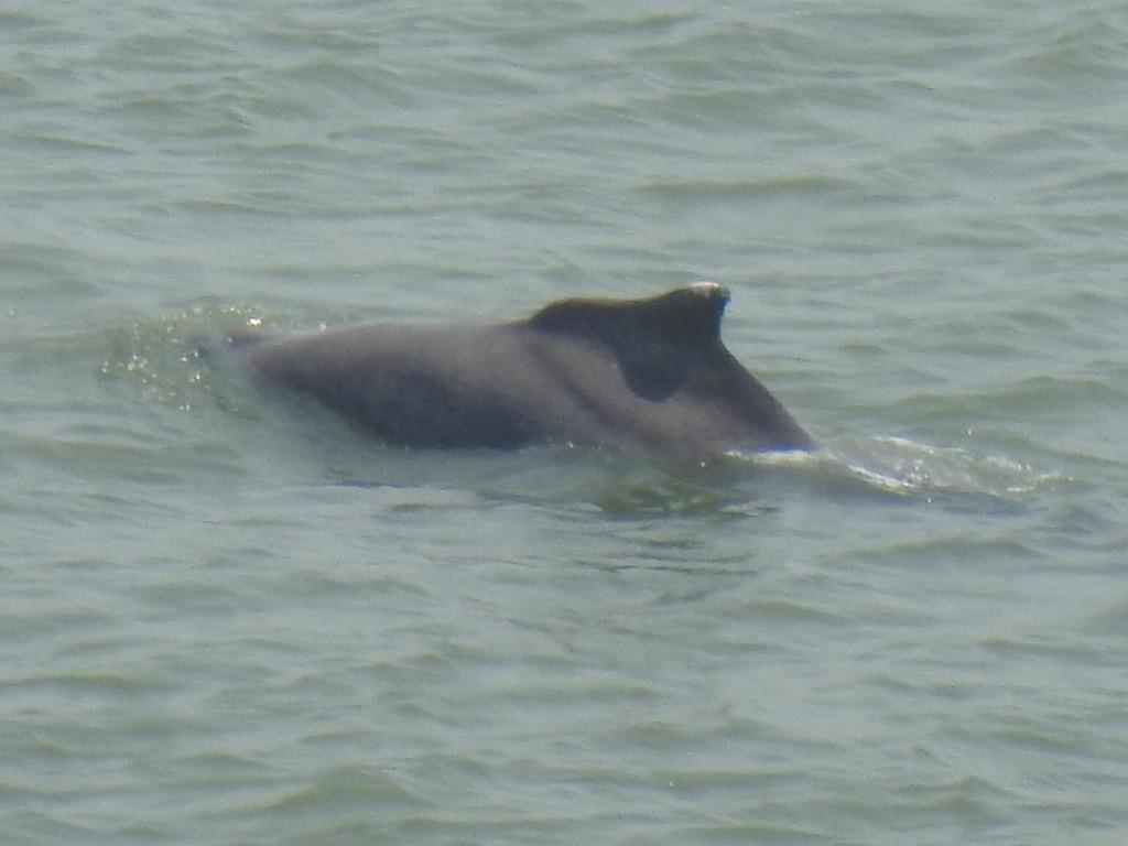 Dolphins in Mumbai Sea Coronavirus