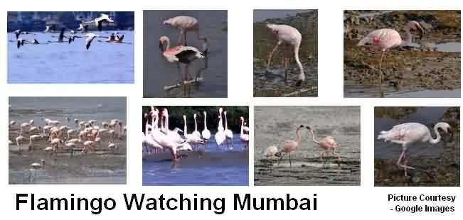 Flamingo Watching Location Mumbai