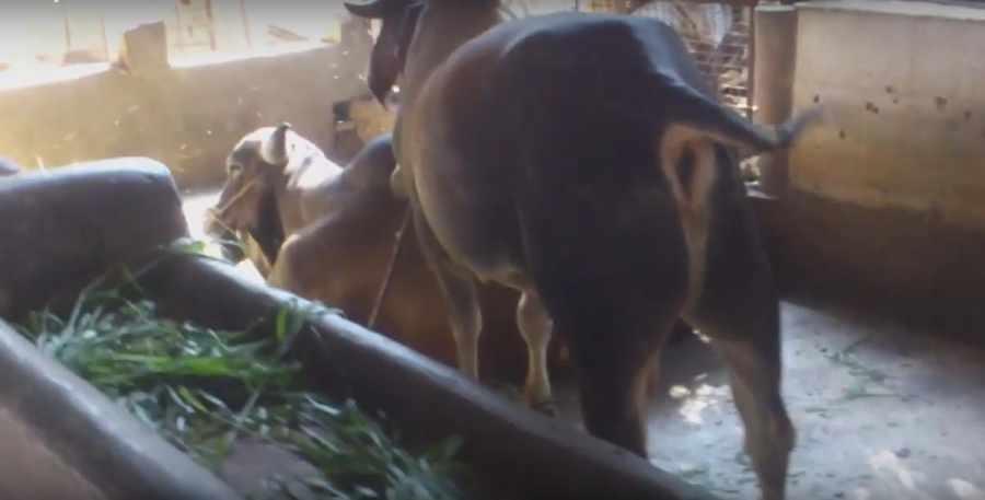Cow Shed Gaushala