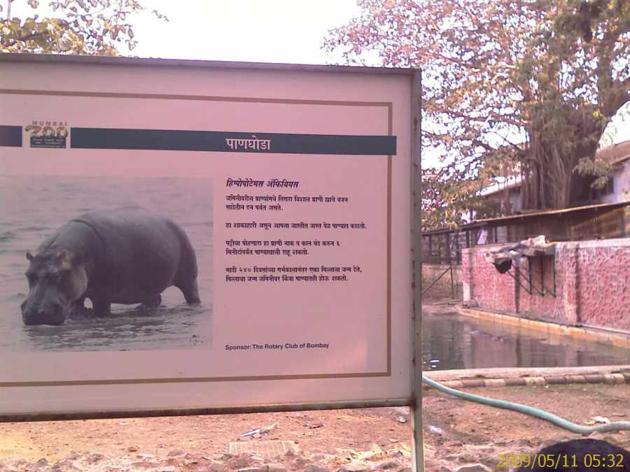 Hippos at Mumbai Zoo