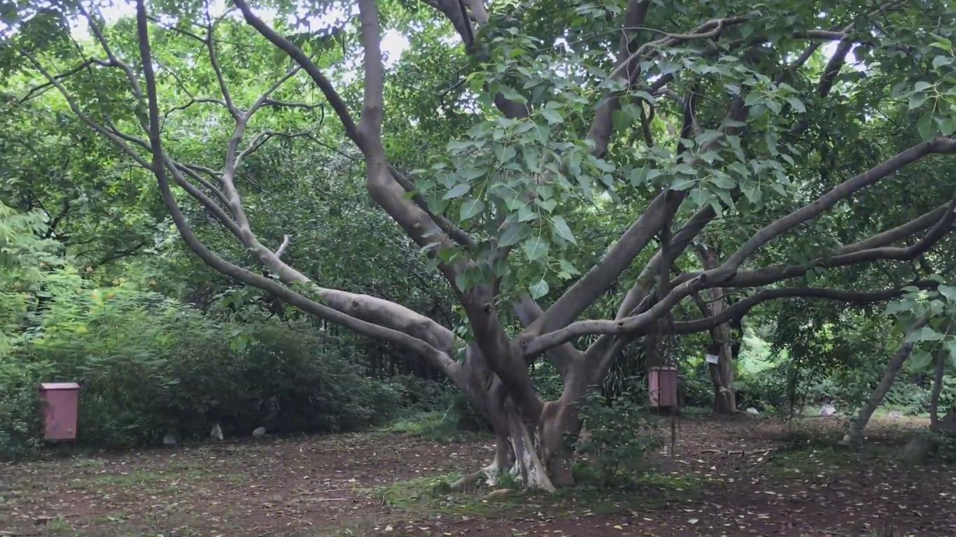 Sacred Fig Pipal Tree
